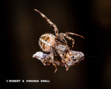 AN APTLY NAMED QUEBEC GARDEN SPIDER (the fleur de lis pattern) WRAPPING ITS PREY, A RED-LEGGED GRASSHOPPER, IN SILK