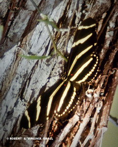 ZEBRA HELACONIAN LONG-WING BUTTERFLY.  THIS WAS DOWN IN FLORIDA - SO EXOTIC!