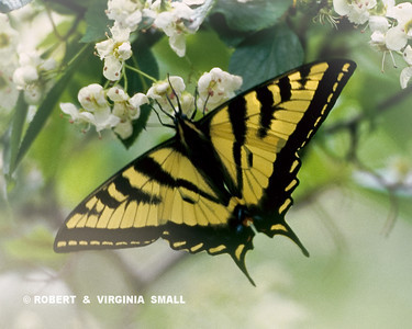 TIGER SWALLOWTAIL ON WHITE BLOSSOMS