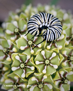 MONARCH CATERPILLAR ON LOOK-ALIKE PLANT - ANTELOPE HORNS MILKWEED - HOW FUN IS THAT!