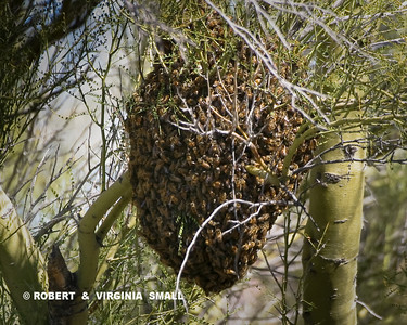 A VERY LARGE (AND VERY NOISY)  SWARM OF BEES IN THE DESERT.  WE DIDN'T SPEND LONG AT THIS SPOT!  HAVE YOU EVER SEEN A SWARM IN FLIGHT SEARCHING FOR ANOTHER HOME?