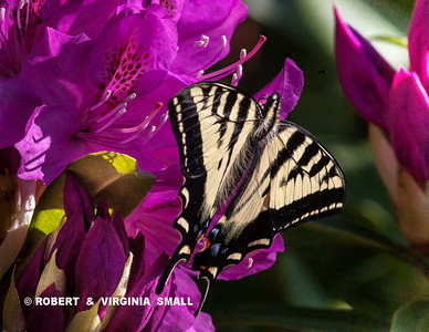 SWALLOWTAIL ON OUR RHODENDRON