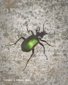 GREEN SEARCHER BEETLE