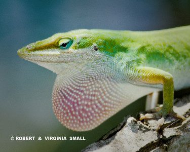 ANOLE, QUIET BUT SO COLORFUL WHEN YOU LOOK AT IT CLOSELY