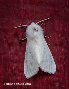 UNIDENTIFIED WHITE MOTH - A COUPLE DOZEN OF THESE MOTHS APPEARED ON THE OUTSIDE WALLS OF OUR HOME FOR SEVERAL DAYS . . . ANYONE OUT THERE WHO CAN ID THEM FOR US?