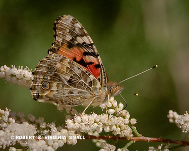 PAINTED LADY BUTTERFLY.  THE NAME SAYS IT ALL, DOESN'T IT?
