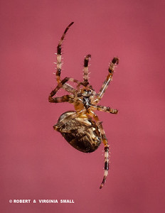 GARDEN SPIDER EXTRACTING WEB MATERIAL FROM IT'S LOVER ABDOMEN