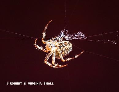 GARDEN SPIDER BUILDING ITS WEB