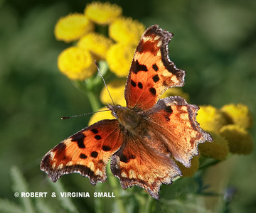 A COMMA BUTTERFLY - uhhh, right?  LOOKS LIKE A COMMA TO ME . . . WHAT DO YOU THINK?