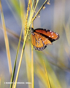 QUEEN BUTTERFLY ON GRASS