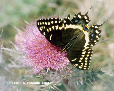 BLACK SWALLOWTAIL ON THISTLE