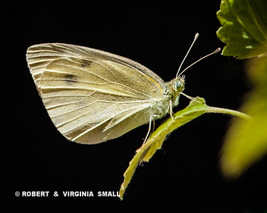 Cabbage White Butterfly on the leaf of a Red Currant