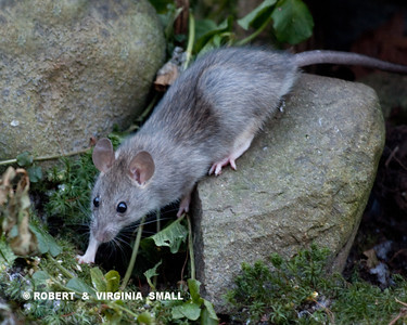UNWELCOME VISITOR IN OUR GARDEN - A NORWAY RAT!