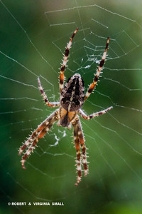 AND THE GARDEN SPIDER, JUST LOOK AND ENJOY THAT PATTERN - IT IS BEAUTIFUL, ISN'T IT?