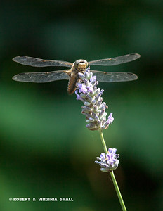 DRAGONFLY ON LAVENDER BLOSSOM