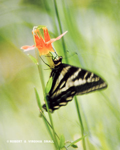 TIGER SWALLOWTAIL ON RED COLUMBINE