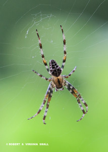 ANOTHER VERSION OF GARDEN ORB SPIDERS TO SPIN IT'S WEB IN OUR GARDEN - BEAUTIFUL, NON-POISONOUS AND BENEFICIAL . . .  BUT BIG!!