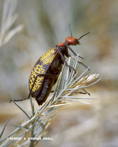 BLISTER BEETLE - look but don't touch!  THE NAME SAYS IT ALL, DOESN'T IT?!