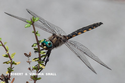 A BEAUTIFUL BLUE-EYED DARNER ON THE THYME PLANT ON THE DECK