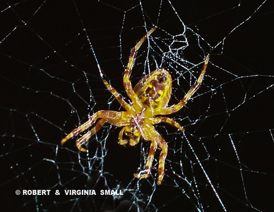 ONE OF OUR YELLOW GARDEN SPIDERS ALL GROWN UP AND PUTTING TOGETHER IT'S OWN WEB