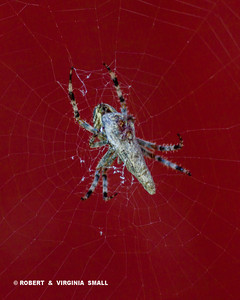 GARDEN SPIDER WITH PREY WRAPPED IN SILK