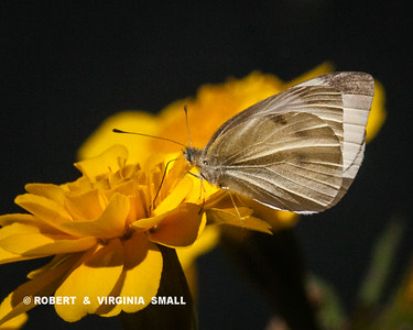 Cabbage White Butterfly on a marigold blossom