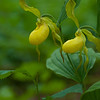Endangered Yellow Lady Slipper