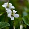Violets White