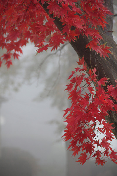 Red Maple Tree in Fog