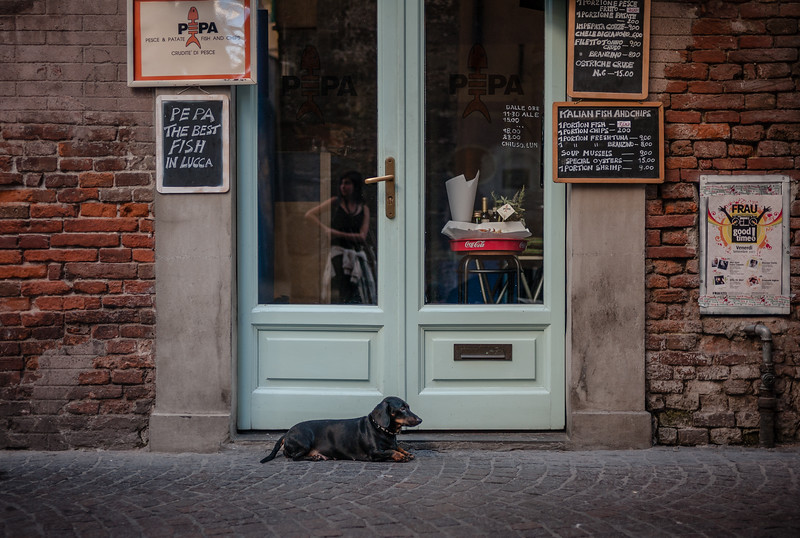 Hund in Lucca (Dackel)