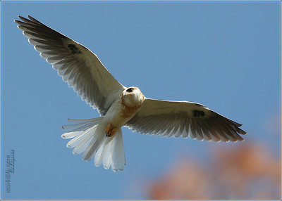 Young fledge, White Tailed Kite.