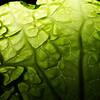 Lizard Lettuce