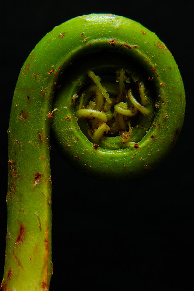 Fiddlehead Fern 2