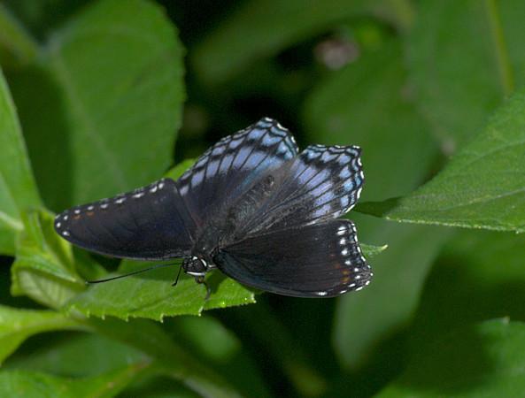 bluemorphis2whiteclay