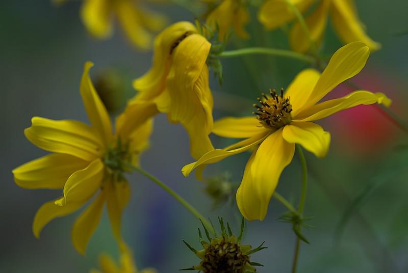 carlayellowildflower1