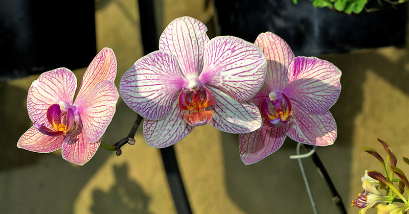 3orchids_lowrez24