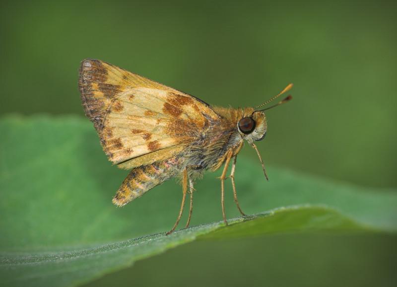 skipperbutterfly