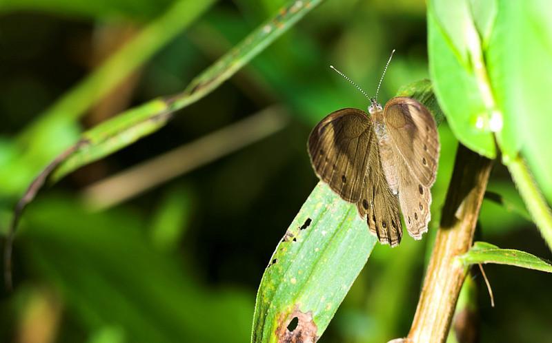 owleyebutterfly