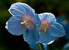 bluepoppy_lowres