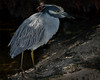 night_heron_72