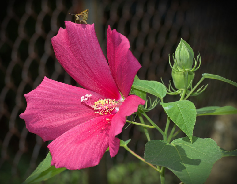 hibiscus_butterflyskipper