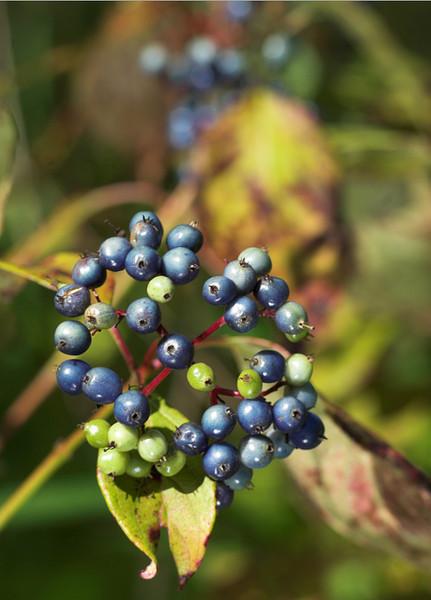 berriesblue