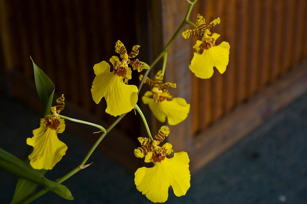 Oncidium Variegatum - Dancing Lady Orchid