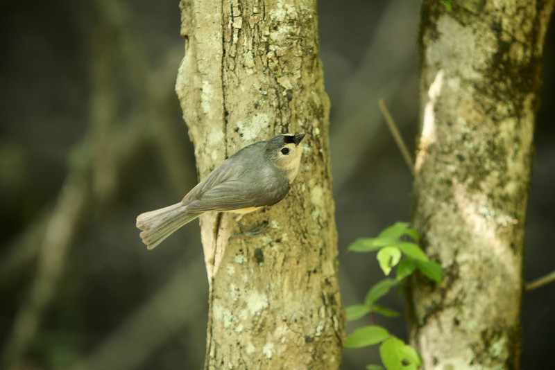 Tufted titmouse, crest down.