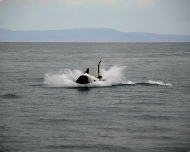 Killer Whale, Monterey Bay, California; whale-watching