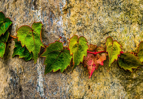 Fall Ivy & Granite