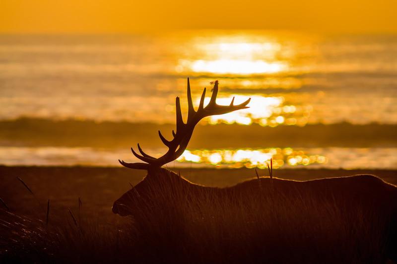 Bull Elk Silhouette
