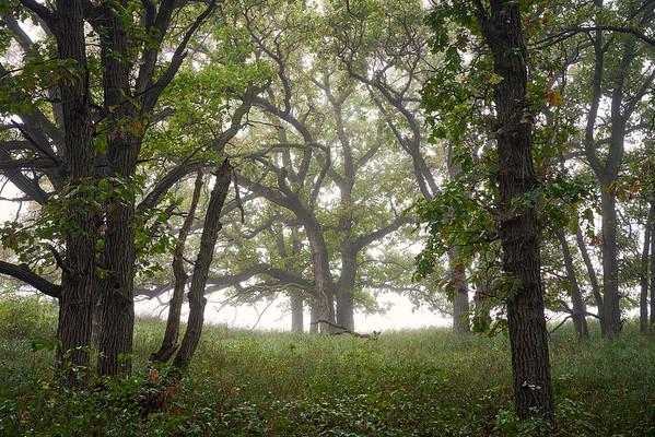 Oaks & Fog