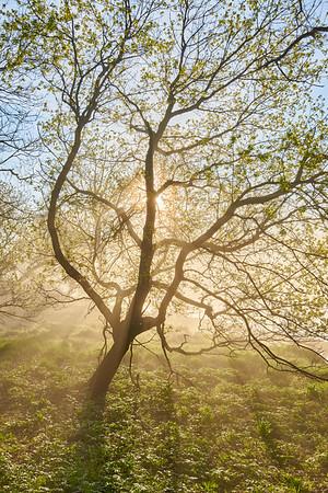 Fog and Tree