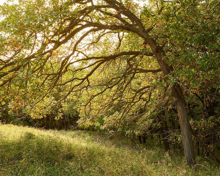 Oak Backlight